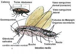 Cucaracha: repugnante por excelencia a los sentidos; belleza para el estudio del biólogo, morfología impresionante... y, lo que más importa, ser y VIDA... luz para el que pueda ver y para el corazón puro